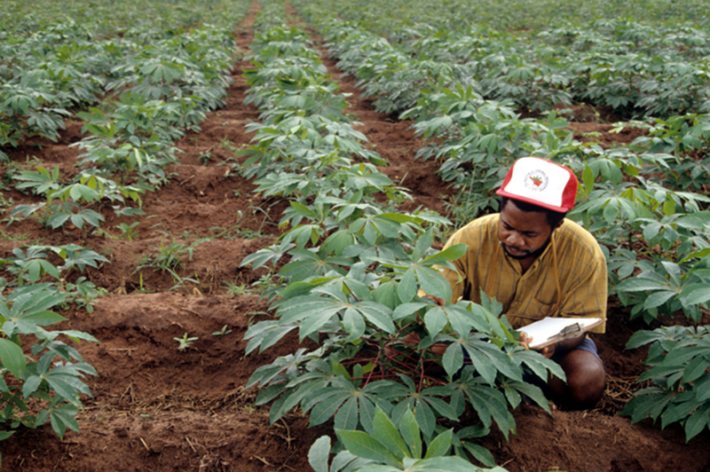 World Bank invests in Angola's Cassava research