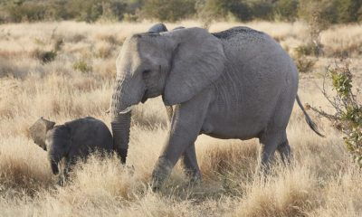100 elephants die from drought in Botswana