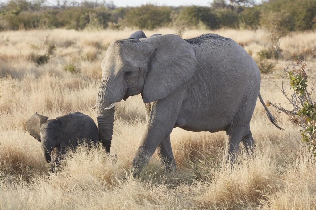 100 elephants die from drought in Botswana