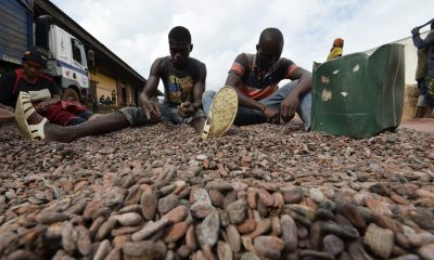 Cocoa Supplies: Ghana and Ivory Coast suspend threat to stop cocoa supplies