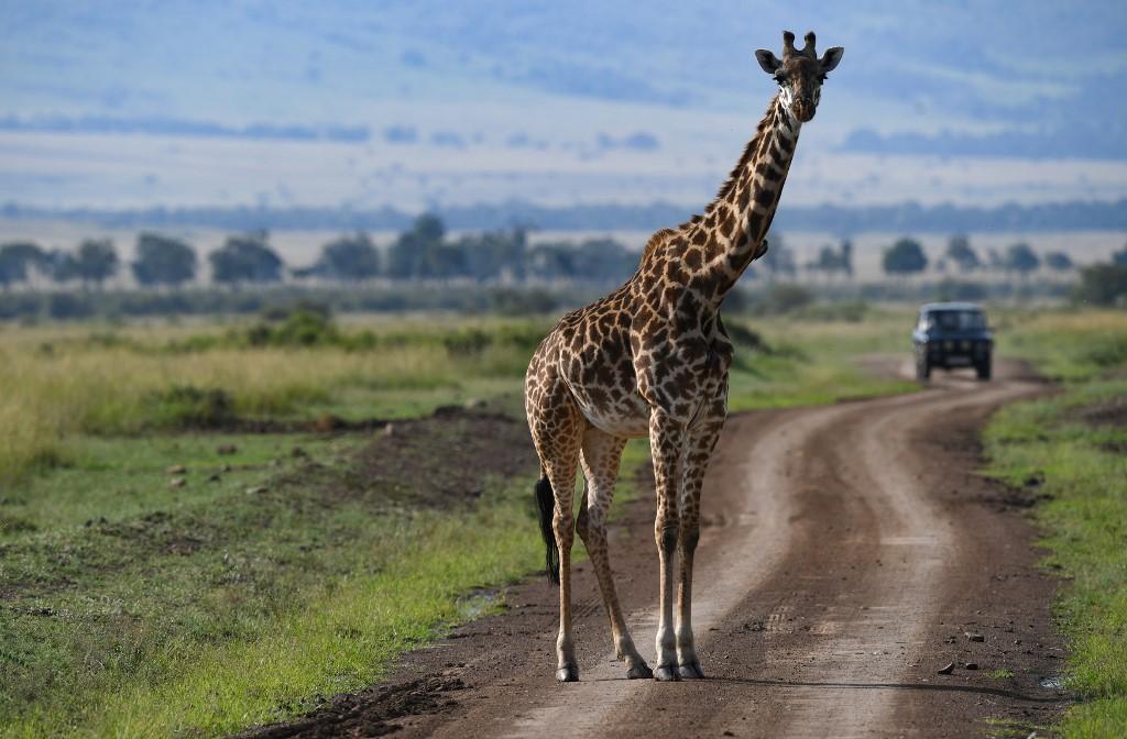 Africa's rare giraffes face 'silent extinction' threats