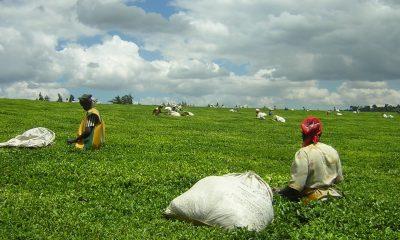 Kenya's tea price slumps to $1.80 per kilogram | News Central TV