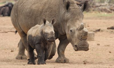 Endangered rhino species gets a chance at survival with scientific breakthrough