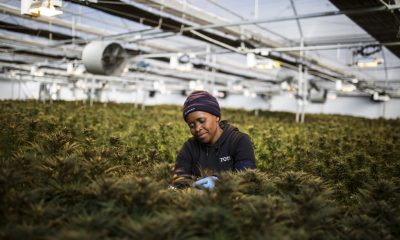 Lesotho is pioneering Africa's medical cannabis industry