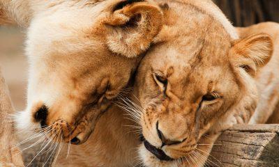 SA Airport authorities seize 324 kilos lion bones