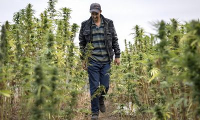 "Morocco's renowned cannabis faces threats from foreign hybrid, ""Critical"""
