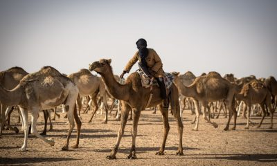 In Western Sahara, desert nomads are rearing an age-long passion for camel herding