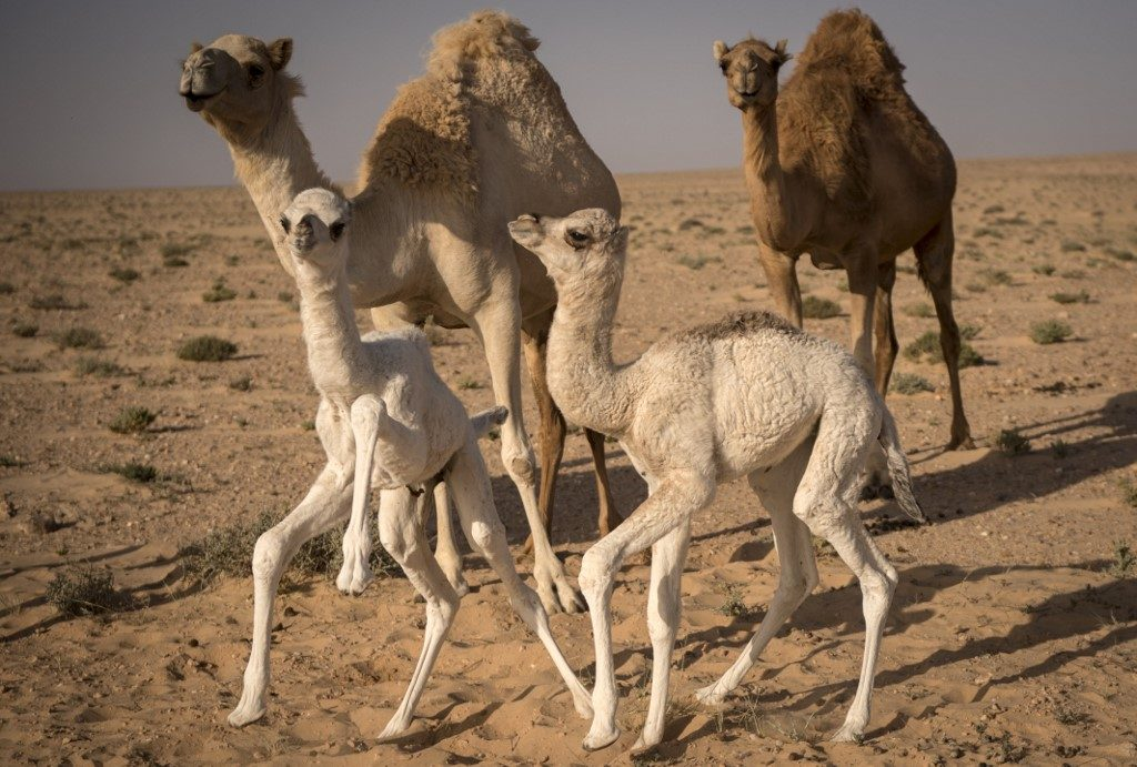 Camel herding in Western Sahara a passion with pedigree